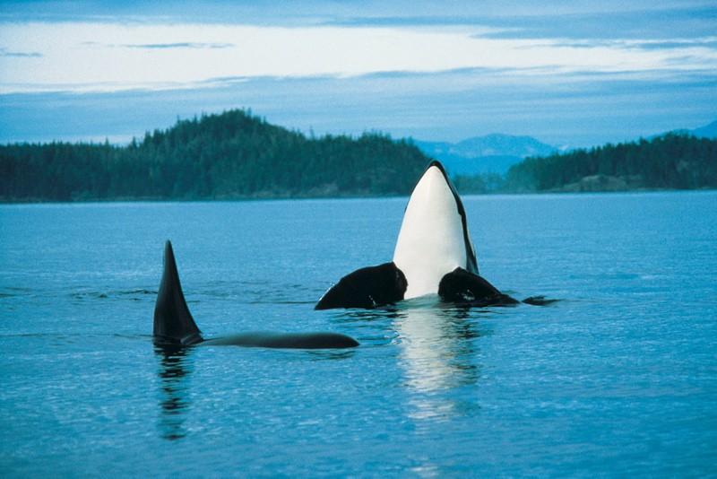 Wildlife orcas
